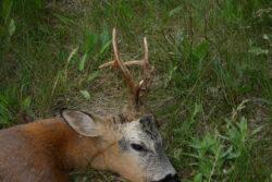 Angebot Rehbock-Jagd in Ungarn 2021