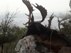 Jagdwoche auf Damhirsch  in Kroatien am Meer von Mo - So