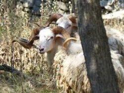 Jagdwoche auf Dalmatien Widder in Kroatien am Meer von Mo - So