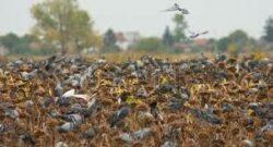 Die Taubenjagd erfreut sich immer größer werdender Beliebtheit unter den Jägern.